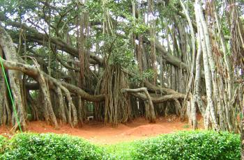 Big Banyan Tree, Bangalore