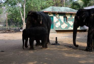 Sakrebailu Elephant Camp